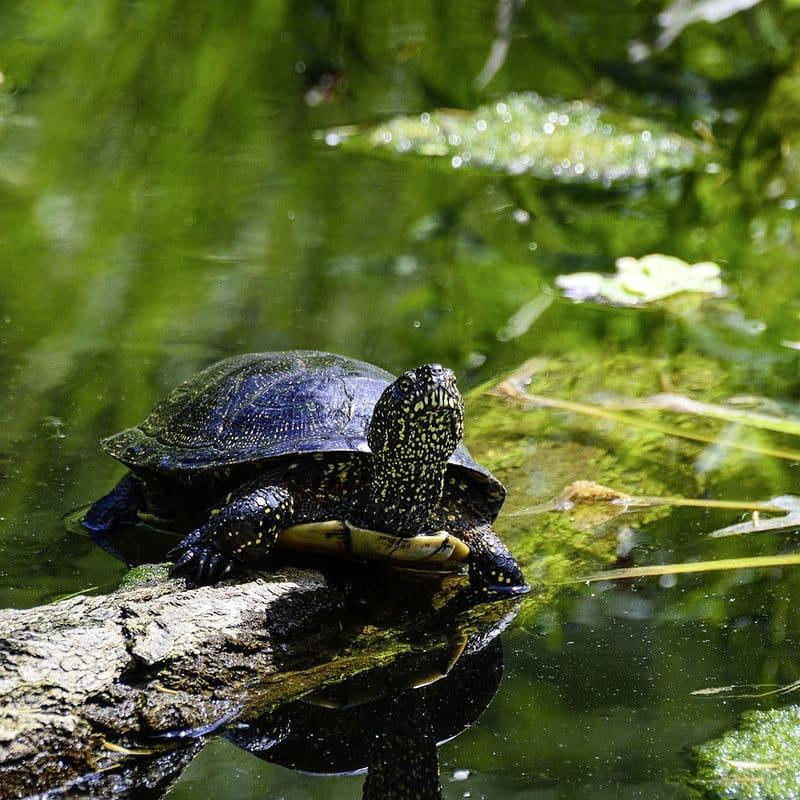 Черепахи обитающие в курской области фото